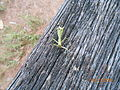 Mantis on wood.JPG