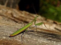 Mantis religiosa Saarland 2020-08-05.jpg