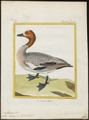 Mareca penelope - 1700-1880 - Print - Iconographia Zoologica - Special Collections University of Amsterdam - UBA01 IZ17600331.tif