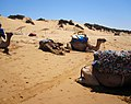 Maroc dromadaires.jpg