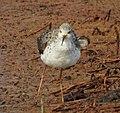 Marsh sandpiper 3(Tringa stagnatilis).jpg