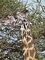 Masai Giraffe Giraffa camelopardalis tippelskirchi in Tanzania 2784 Nevit.jpg
