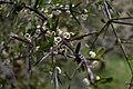 Matagouri (Discaria toumatou) in flower (close up).jpg