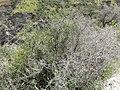 Matagouri Skippers Canyon.JPG