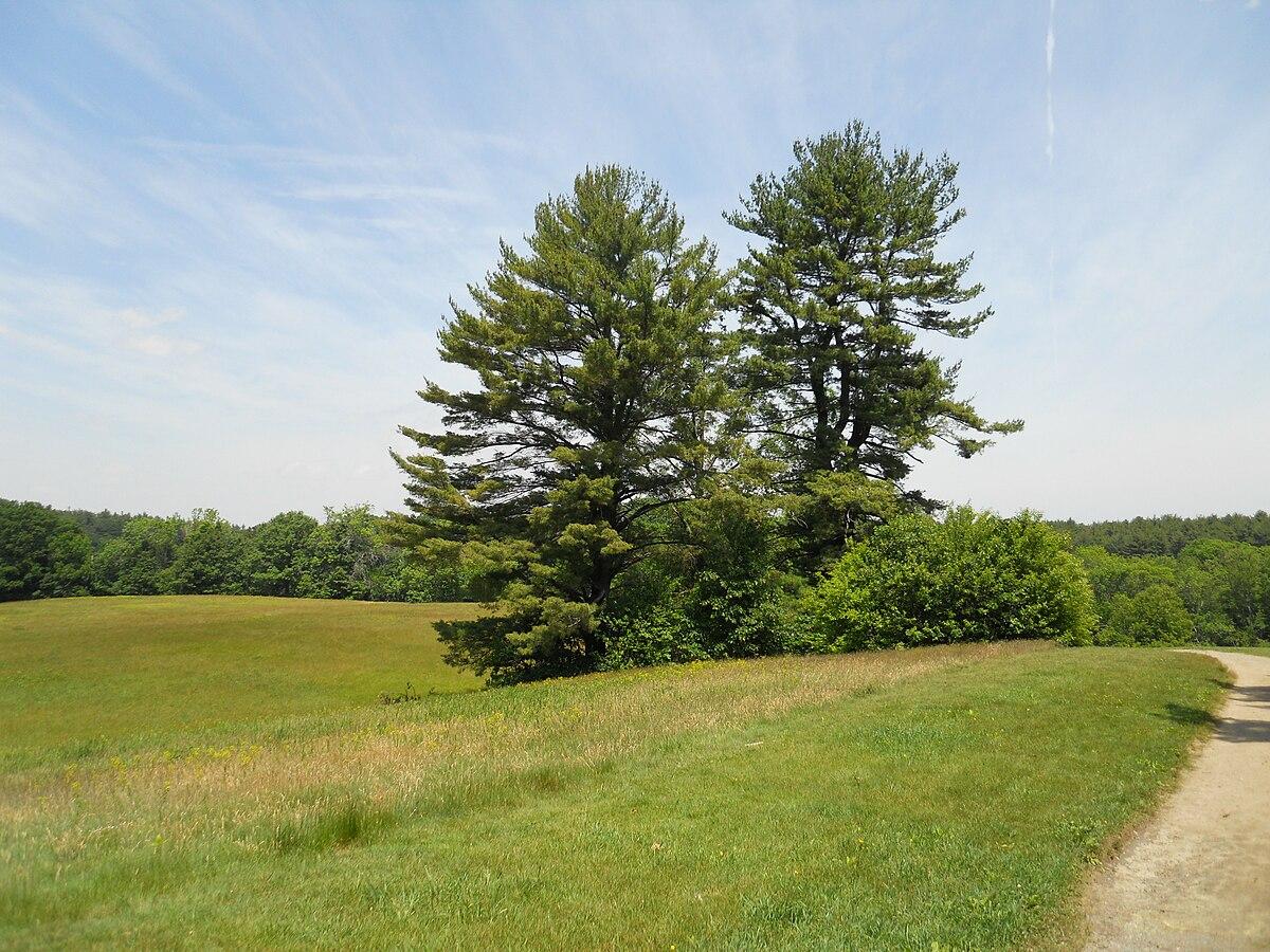 maudslay pine park state pines tree wikipedia peace