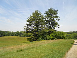 Maudslay white pine 4.JPG
