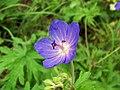 Meadow Crane's-bill (Geranium pratense) (4928938727).jpg