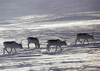 Peary caribou - Peary caribou