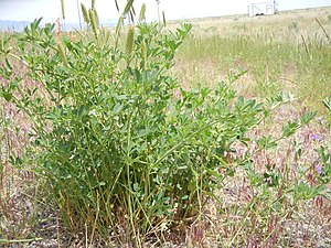 Feral animal - Alfalfa plants, Medicago sativa, colonize roadsides.