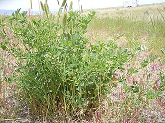 Feral - Alfalfa plants, Medicago sativa, colonize roadsides.