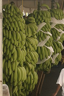 Cooking banana Banana cultivars commonly used in cooking