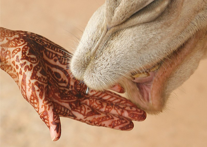 File:Mehndi on hand with camel.jpg