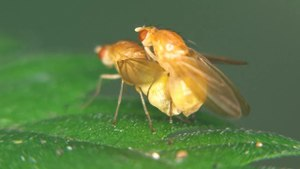 File:Meiosimyza platycephala - 2013-08-04.webm