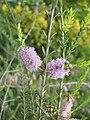 Melaleuca decussata 3.JPG