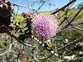 Melaleuca orbicularis flower detail.jpg