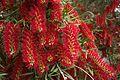 Melaleuca viminalis.jpg