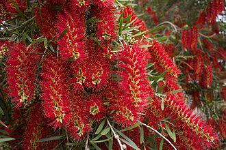 Melaleuca viminalis - Image: Melaleuca viminalis