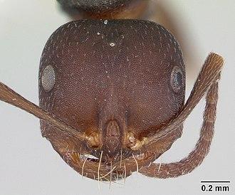 Melophorus - Head view of ant Melophorus majeri specimen