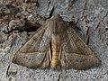 Mesogona oxalina - Широкоспинная совка ольховая (41130321951).jpg