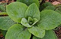 Met rijp bedekte bladrozet van vingerhoedskruid (Digitalis). Locatie, Tuinreservaat Jonkervallei 01.jpg
