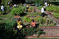 Michelle Obama and White House chefs join children to harvest vegetables, 2011.jpg