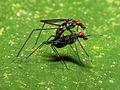 Micropezid Flies Mating (6906301523).jpg