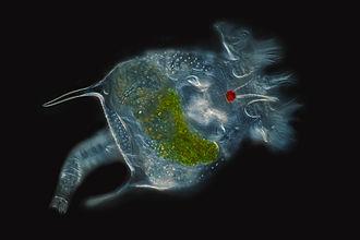 Rotifer - Brachionus quadridentatus