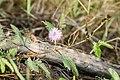 Mimosa pudica (Thottavadi).jpg