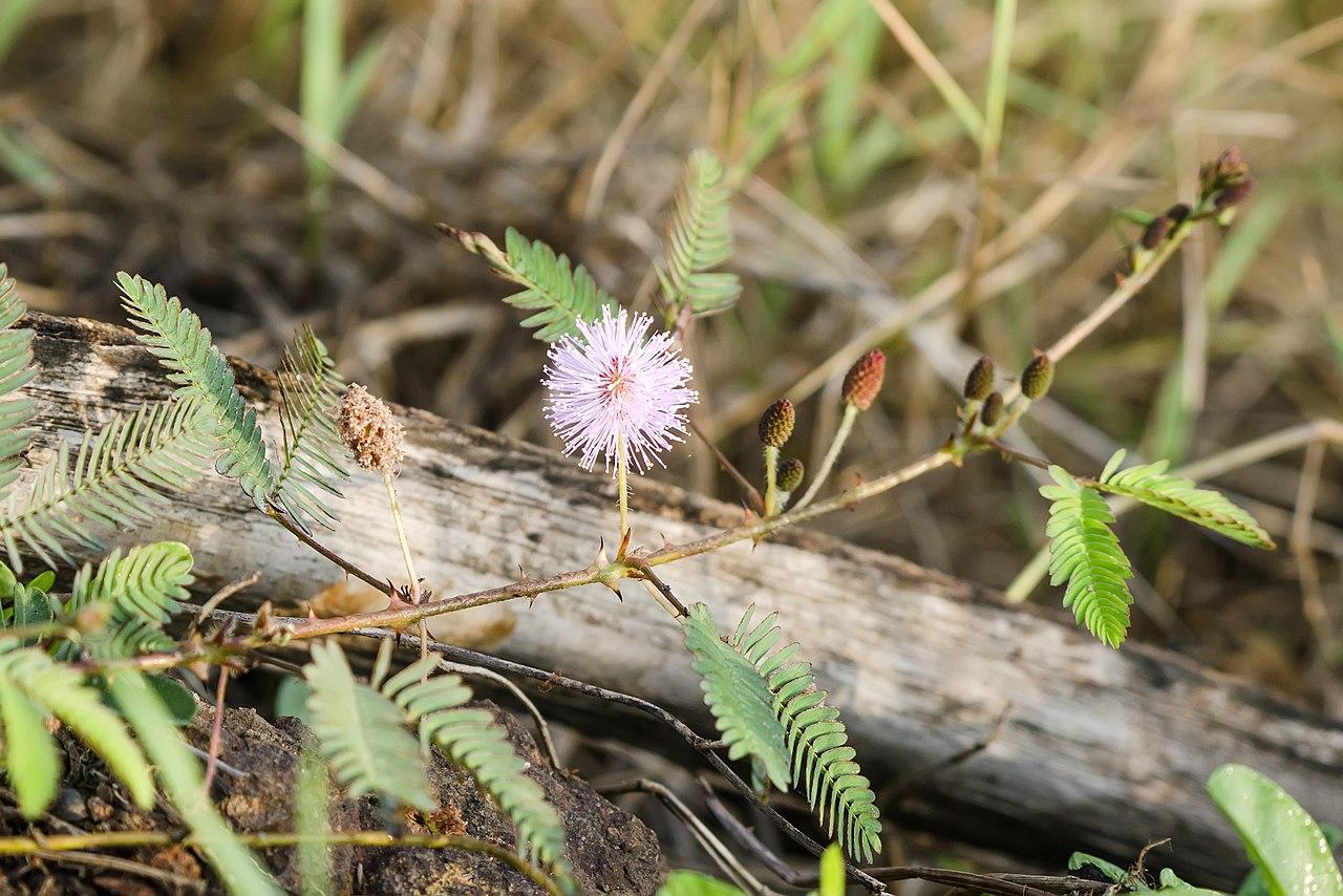 a mimosa pudica féreghajtó aktivitása