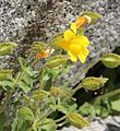 Mimulus tilingii mountain monkeyflower side close.jpg