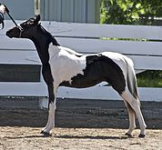 A black and white tobiano pony