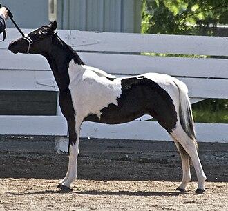 Tobiano - Image: Miniature Stallion