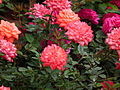 Miniature rose from Lalbagh Flowershow - August 2012 4746.JPG