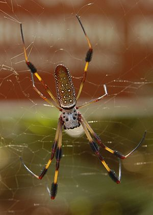 female Nephila clavipes from Bulow Creek State...