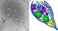 Mitocondria Axon Presinaptico.PNG