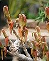Mitrophyllum clivorum IMG 2472.jpg