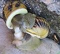 Mollusc mating.jpg