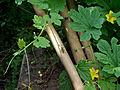 Momordica charantia bitter melon bitter gourd 2010-07-14 193 01.jpg