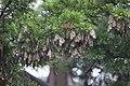 Monarch butterflies at overwintering ground in Santa Cruz, California. (31523815082).jpg