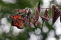 Monarch roosting at MN Valley (43292541145).jpg