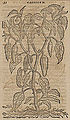Monardes - 1574 - De simplicibus medicamentis - UB Radboud Uni Nijmegen - 208278206 72 capsicum.jpg