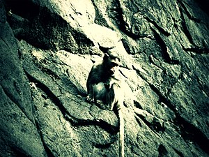 Brahmagiri (hill), Maharashtra - A Monkey climbing at Brahmagiri hill.