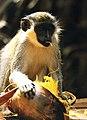 Monkey gambia.jpg