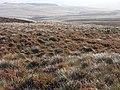 Moorland above Kielder - geograph.org.uk - 1546629.jpg