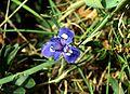 Moraea sisyrinchium Mallorca 067.jpg