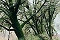 Moss-covered trees.jpg