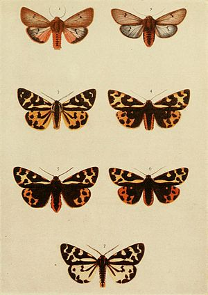 Parasemia plantaginis - Figures 3-7, wood tiger moth forms