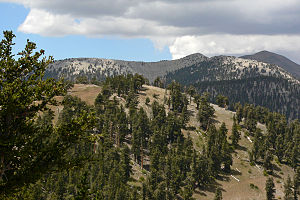 Mount Charleston Wilderness - Bristlecone pines blanket the high ridge between Charleston and Griffith Peaks.
