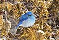 Mountain Bluebird on Seedskadee National Wildlife Refuge (25610552823).jpg