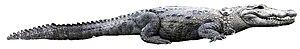 Crocodylus - 70 px